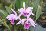 LAELIA LOBATA large blooming size plant 8 to 10 bulbs