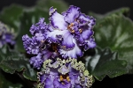 African Violet Accent pair of leaves