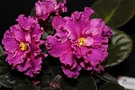 African Violet Beauty Goddess  Russian 2 leaves  Boginia Krasoty