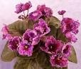 African Violet Spanish Dancer pair of leaves