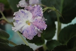 African Violet Amour Elite blooming size  plant  in 4