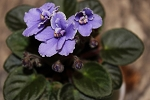 African Violet Frosted Denim  2 leaves