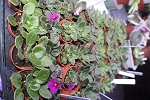 African Violet Semi miniature and miniature assortment  6 plants