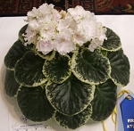 African Violet Ma's Pillow Talk blooming size plant
