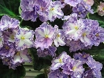 African Violet Russion DEO Golubka pair of leaves