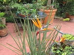 Strelitzia juncea Leafless Bird of Paradise Blooming size division