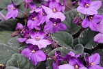 African Violet Lucien Croteau 2 leaves
