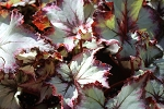 Begonia heat tolerant Rex Harmony's Witchy Woman 2 leaves