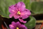 African Violet Festive Floozie 2 leaves