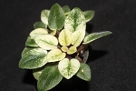 African Violet Jolly Cupid set of 2 leaves variegated miniature