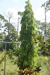 Asoka Polyalthea longifolia.   Ashoka  Mast  tree, Buddah Tree  Indian Fir tree 3 gal