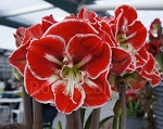 Amaryllis Samba Huge size bulbs 3+ bloom spikes