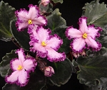 African Violet Smile Awhile 2 leaves