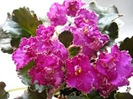 African Violet Apache Bow  Plant