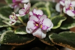 African Violet Ness Cranberry Swirl  Chimera plant in 2