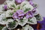 African Violet Grape Treat semi miniature variegated Gesneriad 2 leaves