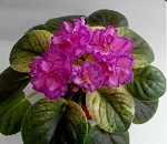 African Violet Russian Bomond PC 2 leaves