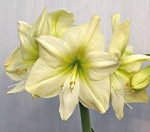Amaryllis Lemon Star large Blooming size bulbs