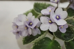 African Violet Classic Rock set of 2 leaves semiminiature