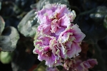 African violet Silverglade Apples plant
