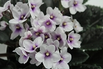 African Violet Jack of Clubs set of 2 leaves
