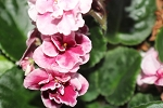 African Violet Aca's Pink Delight  Blooming Size plant