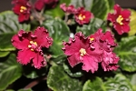 African Violet Russian LE Ispanskii Tanets leaves set of 2