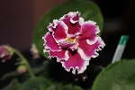 African Violet Amadeus  Russian set of 2 leaves