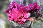 African Violet Russian Fire flower set of 2 leaves Ognennyi Tsvetok