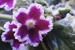African Violet Russian LE Karusel, Carousel E. Lebetskaia pair of leaves