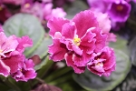 African Violet  Russian Frosty Cherry Moroznaia Vishnia 2 leaves