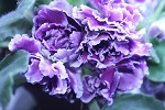 African Violet RS Duchess, Russian  Gertsoginia  2 leaves