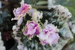 African Violet Wrangler's Gaudy Lady Vintage blooming size plant