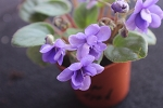 African Violet Fun Trail semi miniature trailer 2 leaves