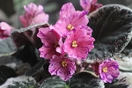 African Violet Geyser of Color pair of leaves