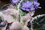 African violet Wrangler's Swinging Blues pair of leaves