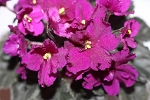 African Violet Jolly Magic leaves set of 2