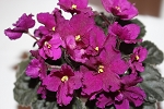 African Violet Jolly Magic  Blooming size plant in 2
