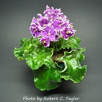 African Violet Lacy Lass set of 2 leaves