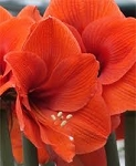Amaryllis Naranja huge  blooming size bulbs