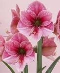 Amaryllis Purple Rain lg blooming size bulbs