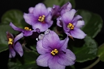 African Violet Smokey Echoes  2 leaves